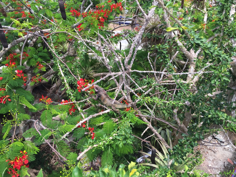 spot the iguana.jpg